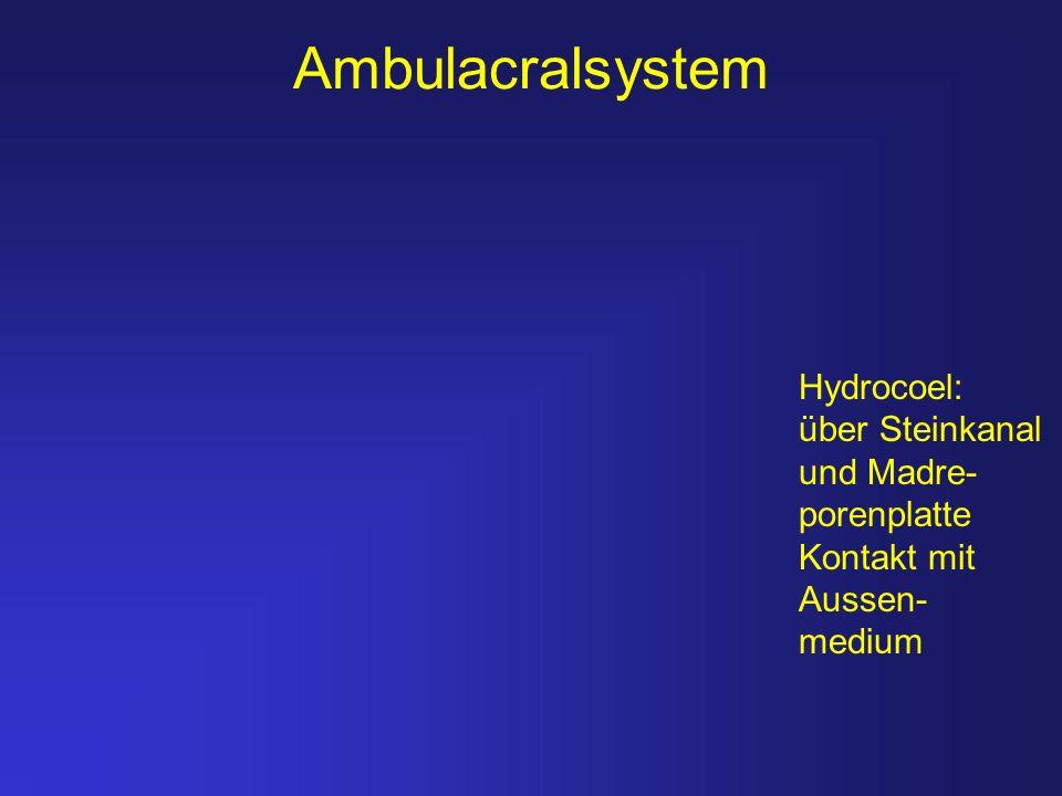Ambulacralsystem Hydrocoel: