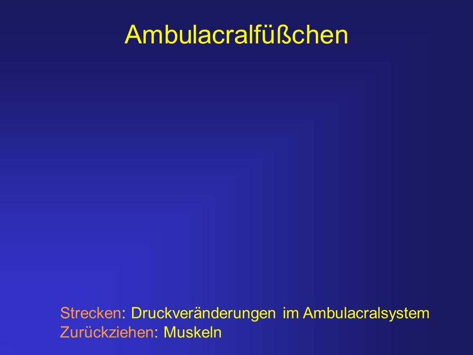 Ambulacralfüßchen Strecken: Druckveränderungen im Ambulacralsystem