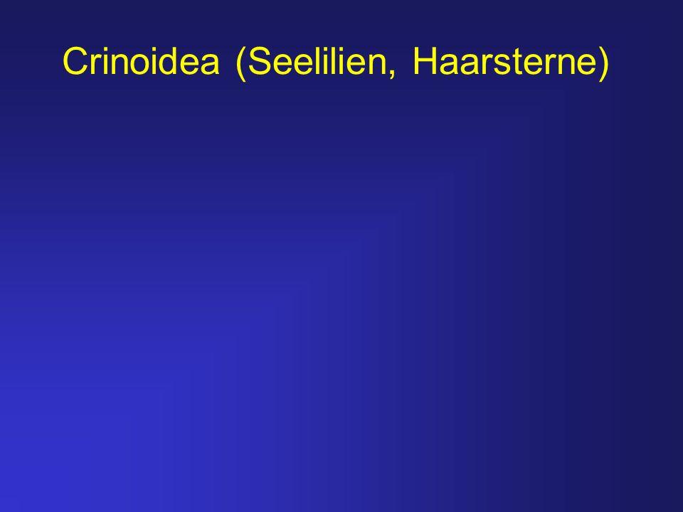 Crinoidea (Seelilien, Haarsterne)