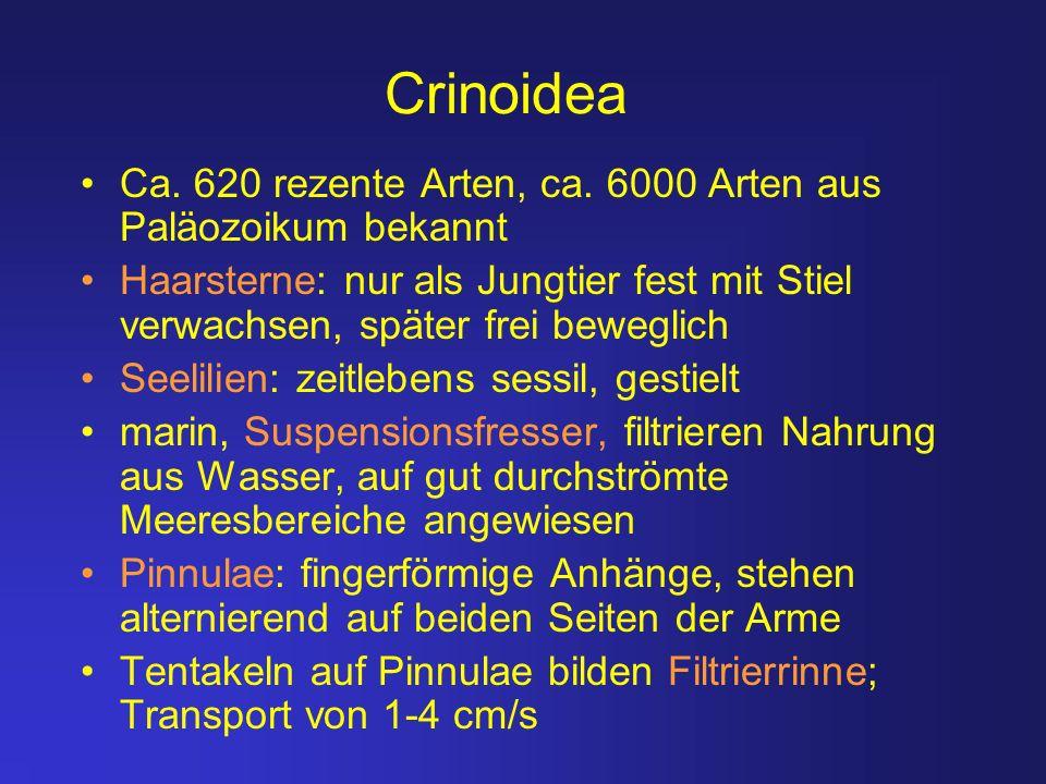 Crinoidea Ca. 620 rezente Arten, ca. 6000 Arten aus Paläozoikum bekannt.