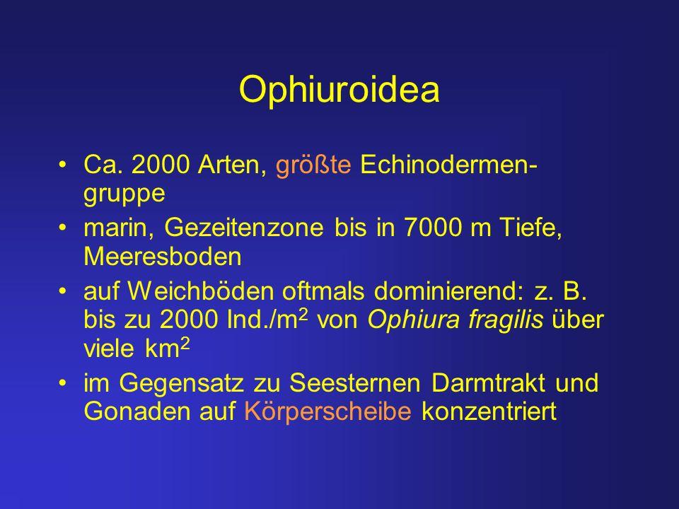 Ophiuroidea Ca. 2000 Arten, größte Echinodermen-gruppe