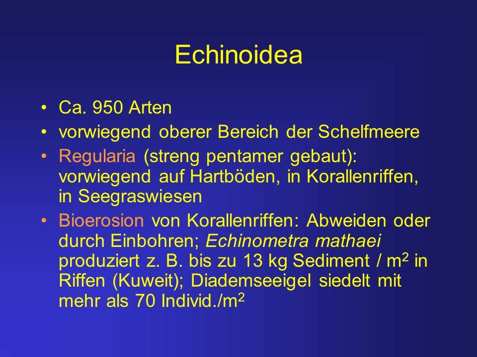 Echinoidea Ca. 950 Arten vorwiegend oberer Bereich der Schelfmeere