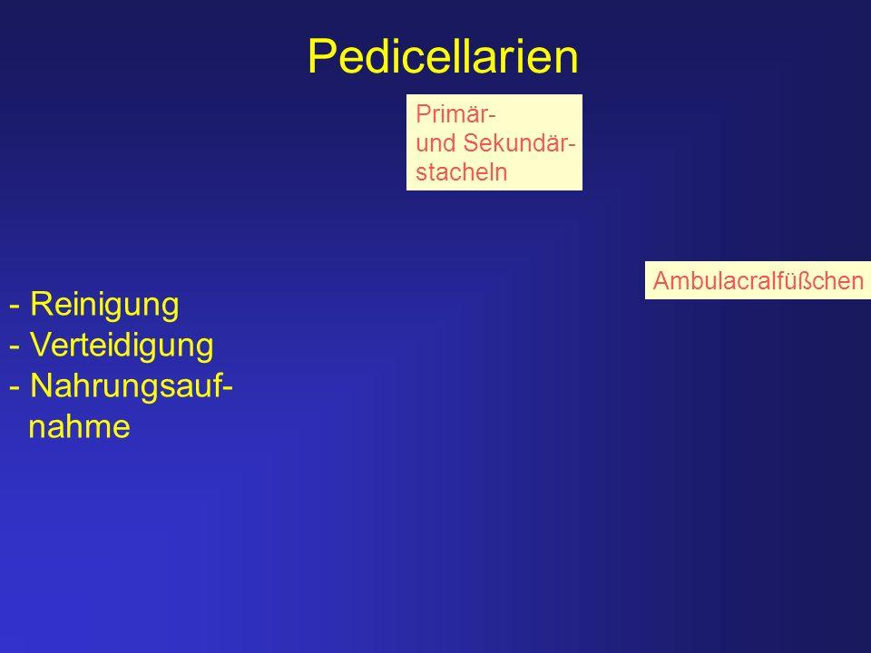 Pedicellarien - Reinigung - Verteidigung - Nahrungsauf- nahme Primär-
