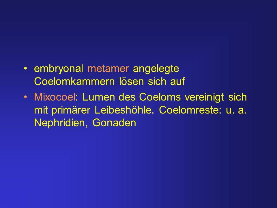 embryonal metamer angelegte Coelomkammern lösen sich auf