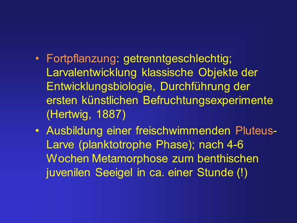 Fortpflanzung: getrenntgeschlechtig; Larvalentwicklung klassische Objekte der Entwicklungsbiologie, Durchführung der ersten künstlichen Befruchtungsexperimente (Hertwig, 1887)