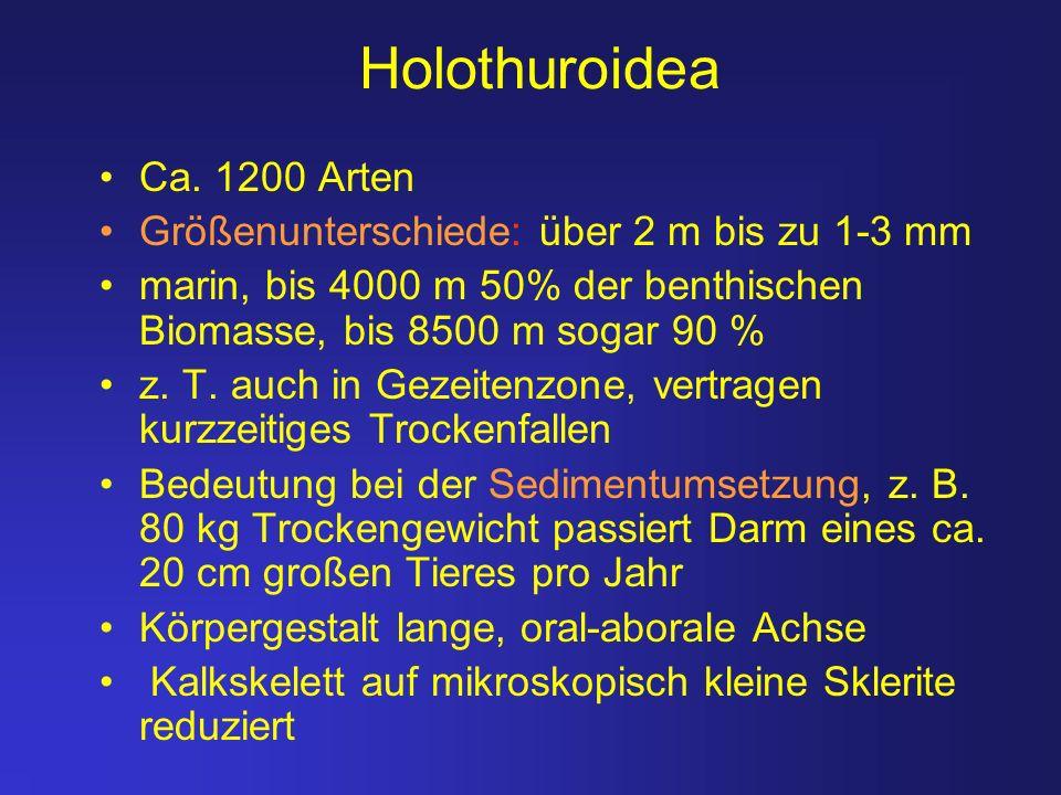 Holothuroidea Ca. 1200 Arten