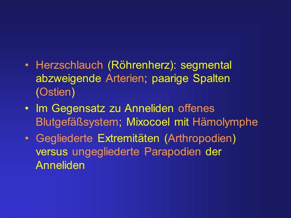 Herzschlauch (Röhrenherz): segmental abzweigende Arterien; paarige Spalten (Ostien)