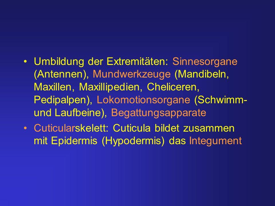 Umbildung der Extremitäten: Sinnesorgane (Antennen), Mundwerkzeuge (Mandibeln, Maxillen, Maxillipedien, Cheliceren, Pedipalpen), Lokomotionsorgane (Schwimm- und Laufbeine), Begattungsapparate
