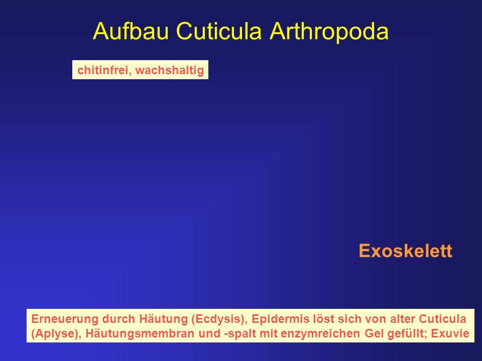Aufbau Cuticula Arthropoda