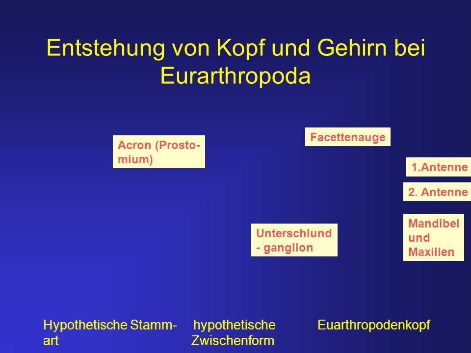 Entstehung von Kopf und Gehirn bei Eurarthropoda