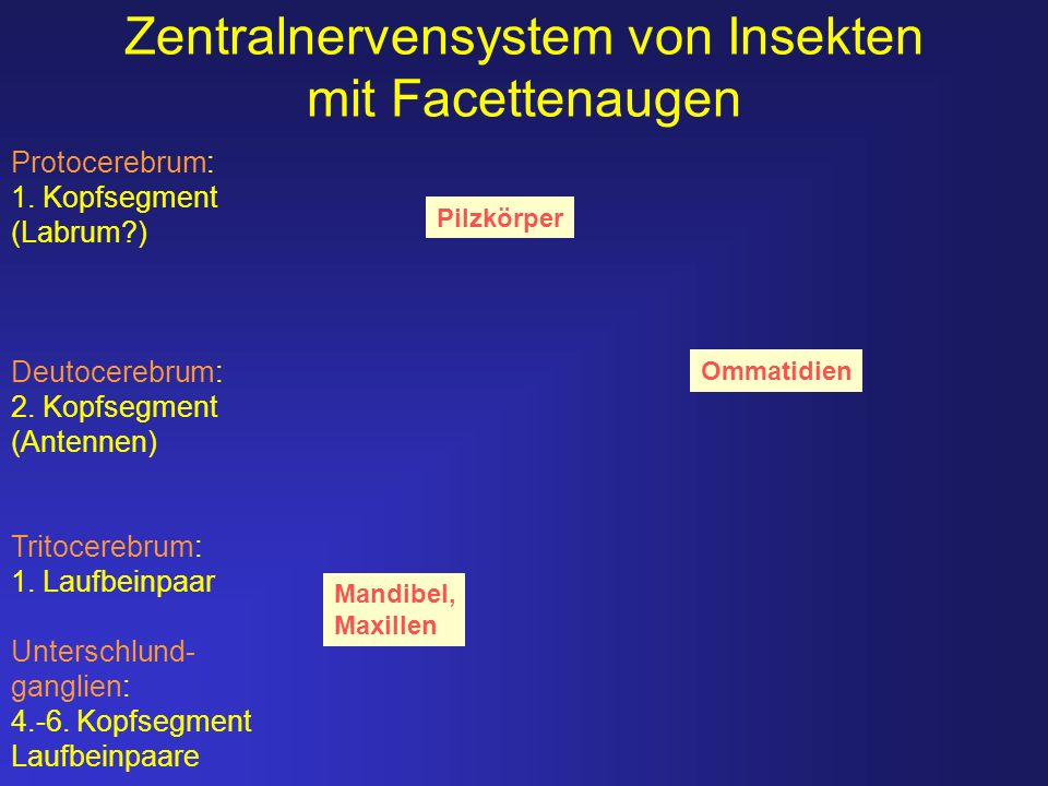 Zentralnervensystem von Insekten mit Facettenaugen