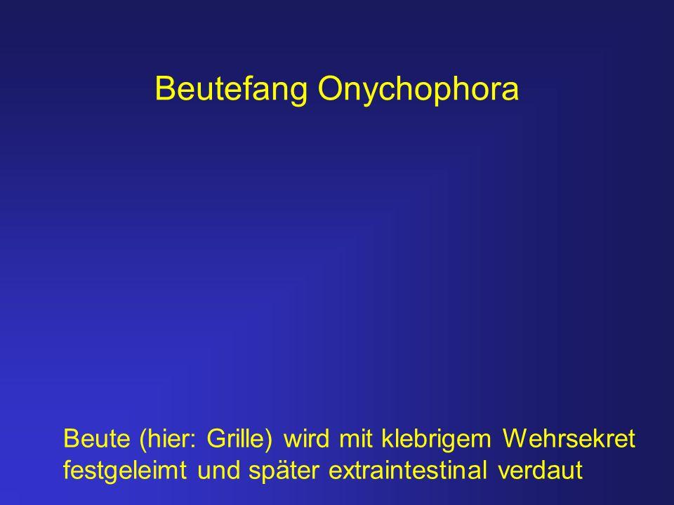 Beutefang Onychophora