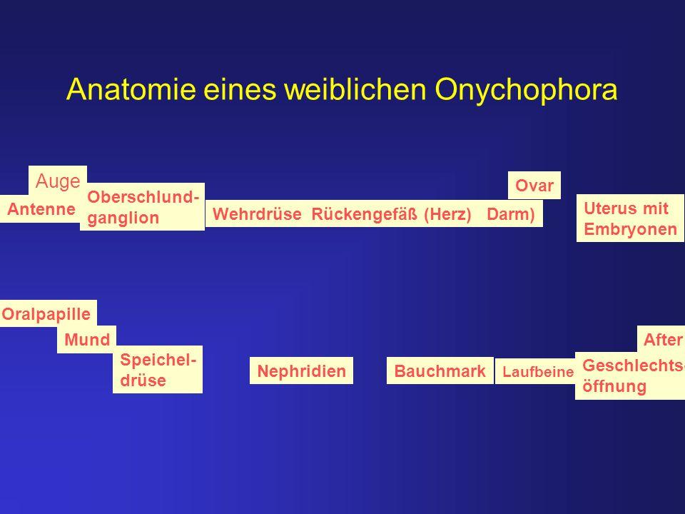 Anatomie eines weiblichen Onychophora