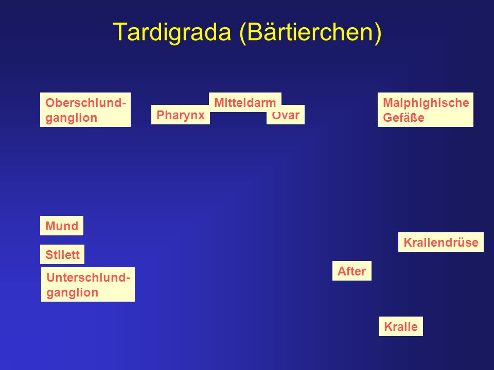 Tardigrada (Bärtierchen)