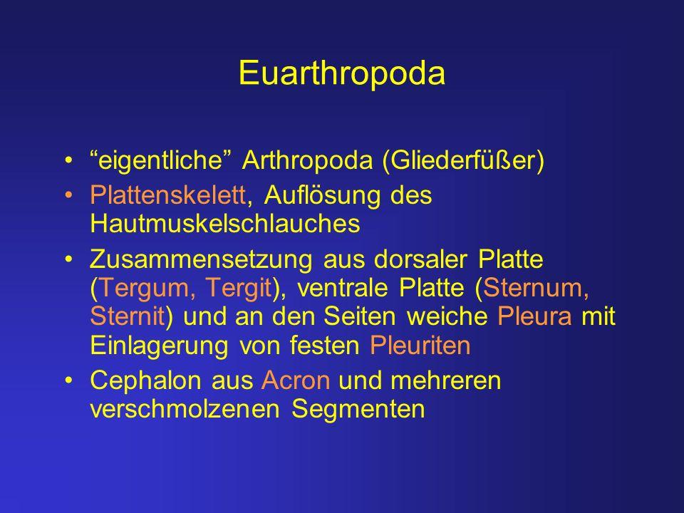 Euarthropoda eigentliche Arthropoda (Gliederfüßer)