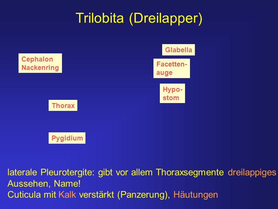 Trilobita (Dreilapper)