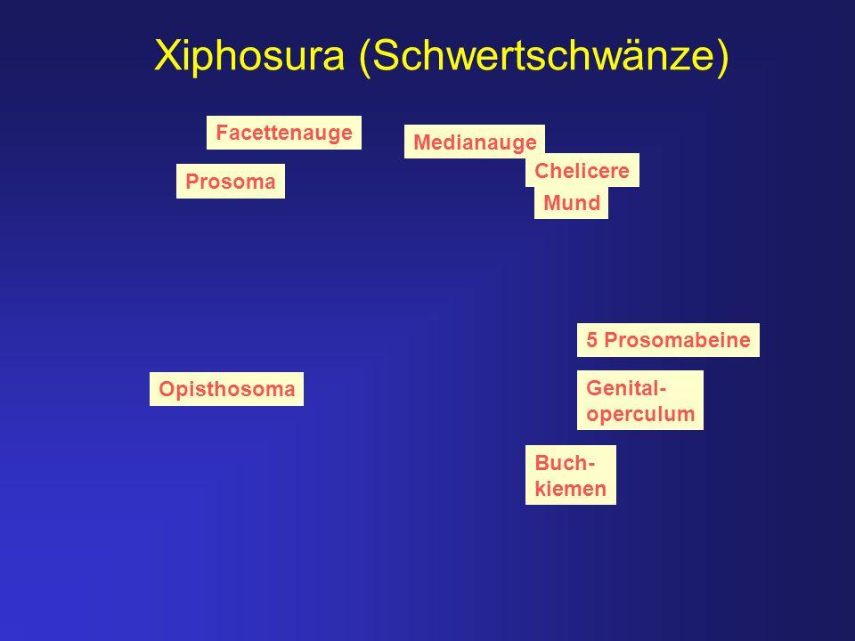 Xiphosura (Schwertschwänze)