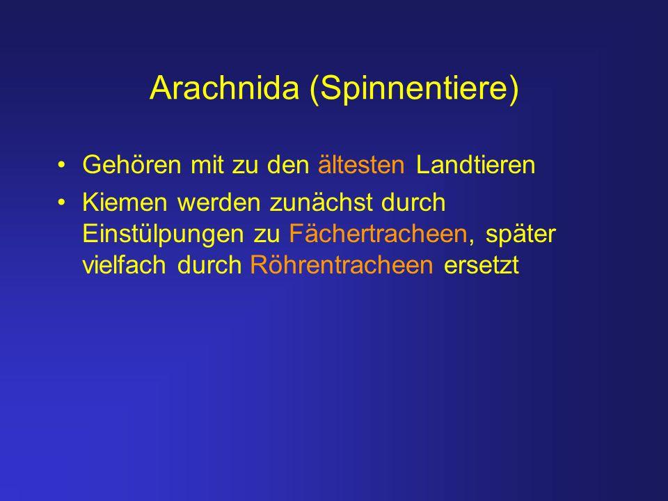 Arachnida (Spinnentiere)