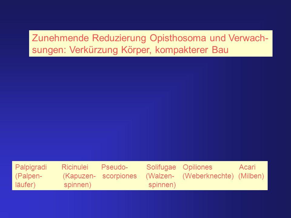 Zunehmende Reduzierung Opisthosoma und Verwach-