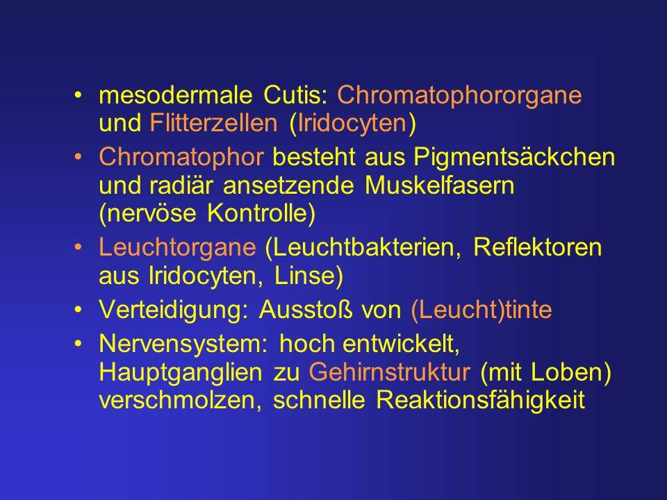 mesodermale Cutis: Chromatophororgane und Flitterzellen (Iridocyten)