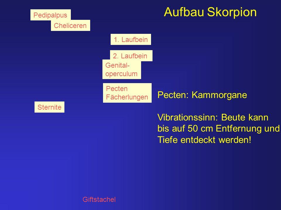 Aufbau Skorpion Pecten: Kammorgane Vibrationssinn: Beute kann
