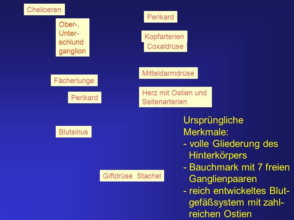 Ursprüngliche Merkmale: volle Gliederung des Hinterkörpers