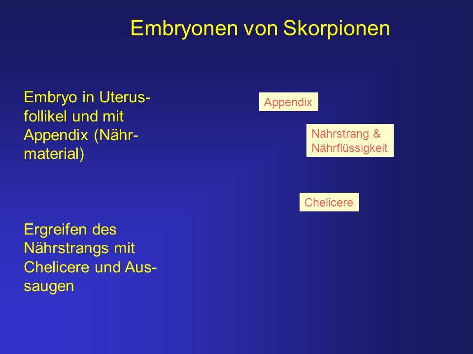 Embryonen von Skorpionen