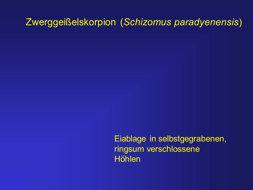 Zwerggeißelskorpion (Schizomus paradyenensis)