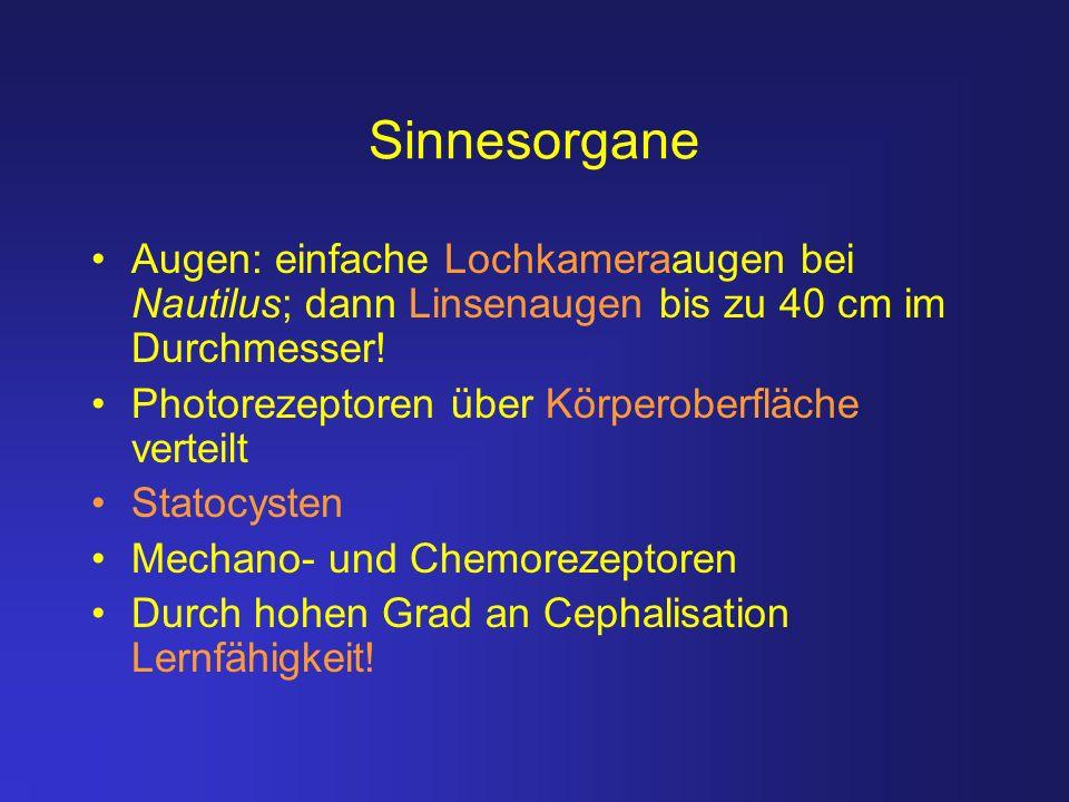 Sinnesorgane Augen: einfache Lochkameraaugen bei Nautilus; dann Linsenaugen bis zu 40 cm im Durchmesser!