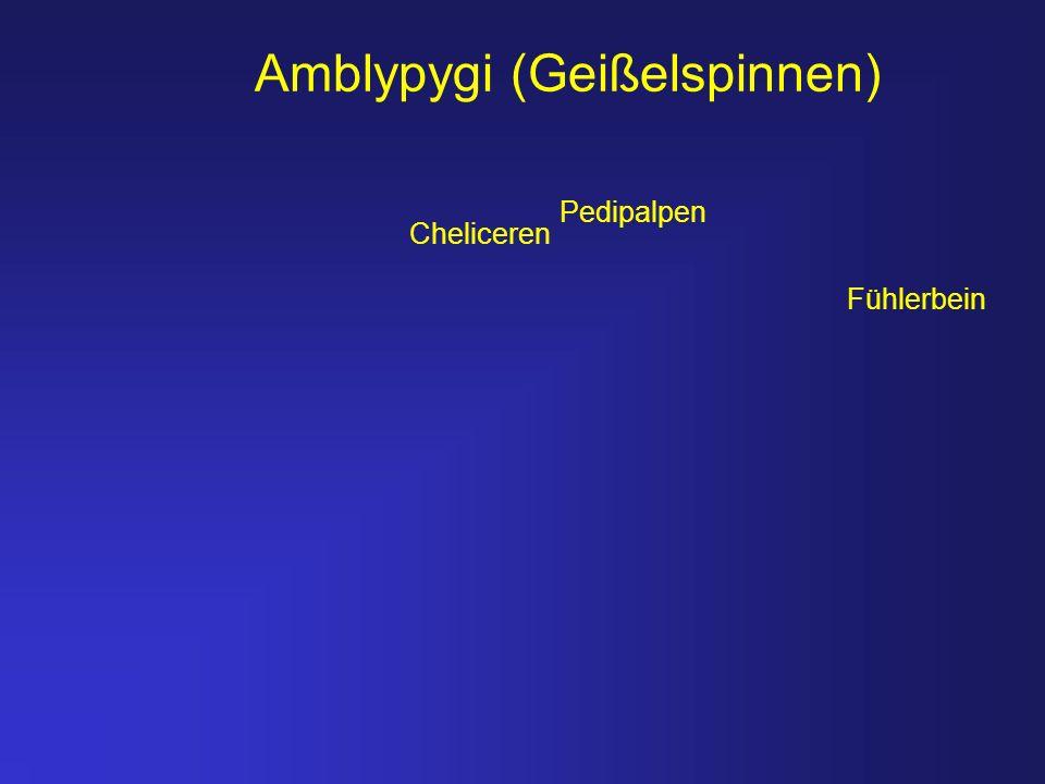 Amblypygi (Geißelspinnen)