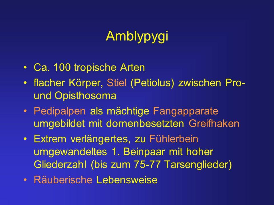 Amblypygi Ca. 100 tropische Arten