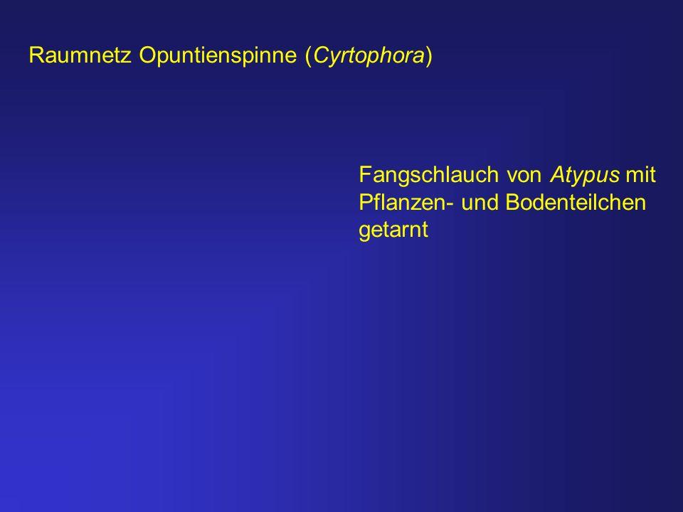 Raumnetz Opuntienspinne (Cyrtophora)