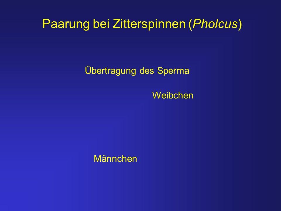 Paarung bei Zitterspinnen (Pholcus)