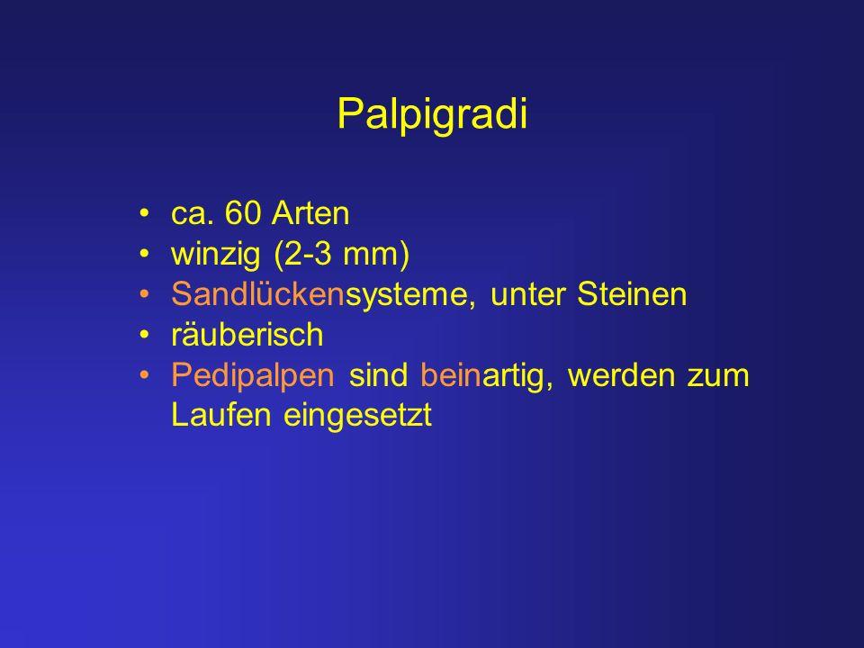 Palpigradi ca. 60 Arten winzig (2-3 mm)