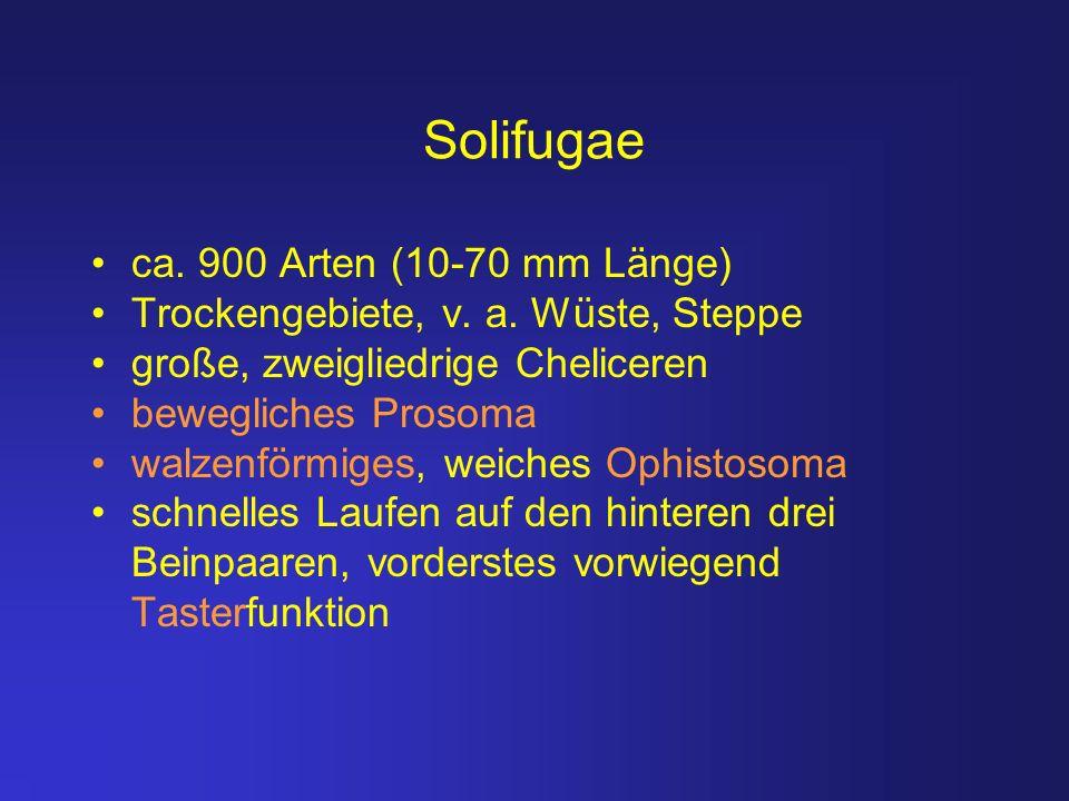 Solifugae ca. 900 Arten (10-70 mm Länge)