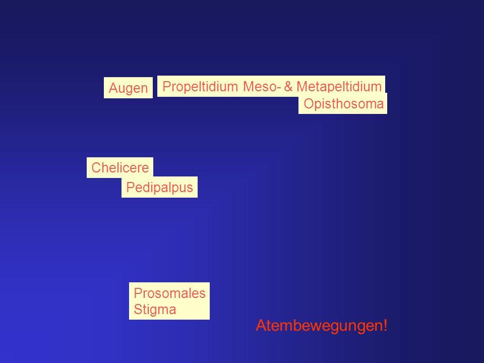 Atembewegungen! Augen Propeltidium Meso- & Metapeltidium Opisthosoma