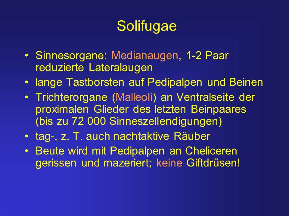 Solifugae Sinnesorgane: Medianaugen, 1-2 Paar reduzierte Lateralaugen