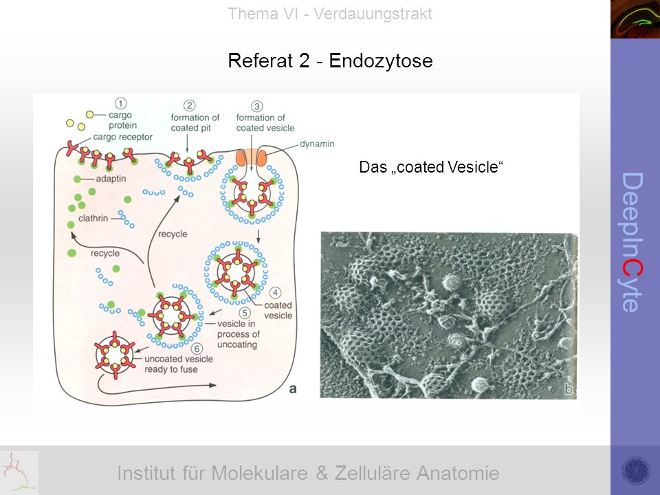 "Referat 2 - Endozytose Das ""coated Vesicle"