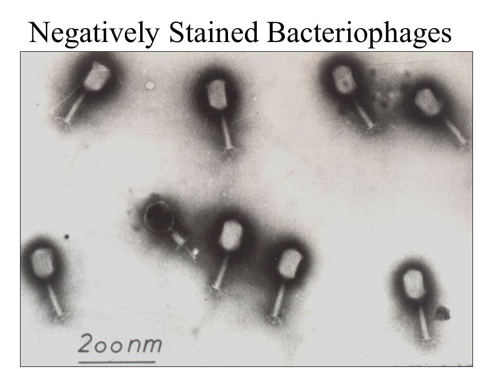 Negatively Stained Bacteriophages