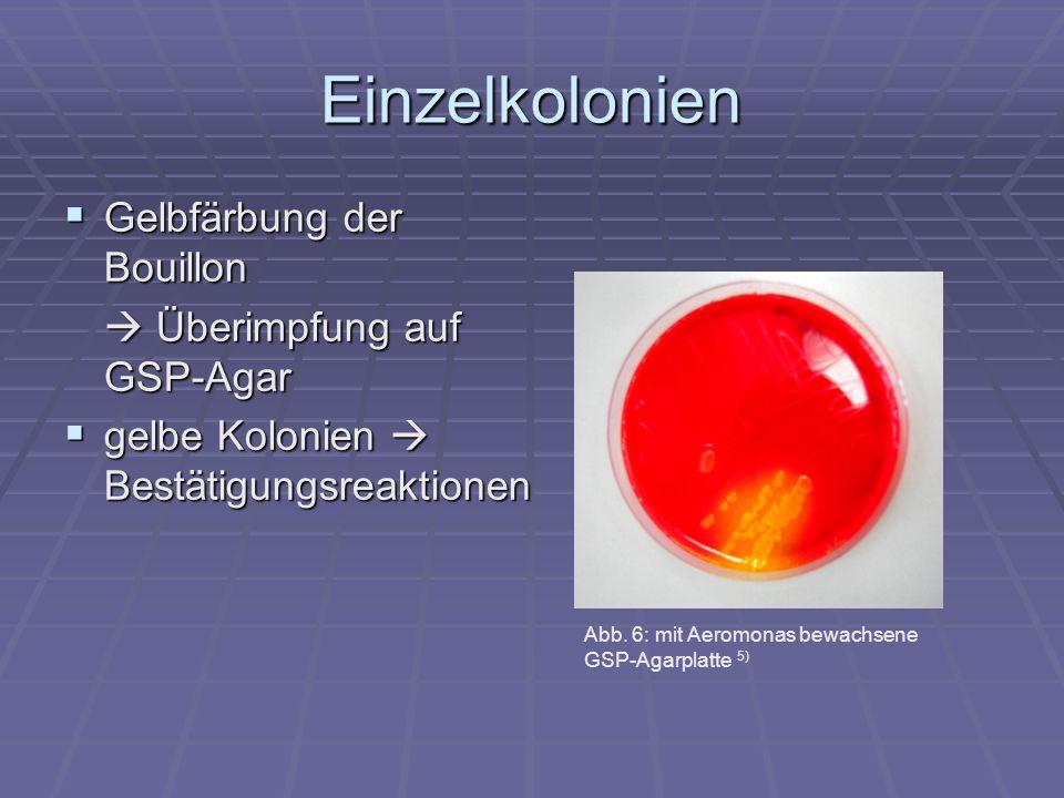 Einzelkolonien Gelbfärbung der Bouillon  Überimpfung auf GSP-Agar