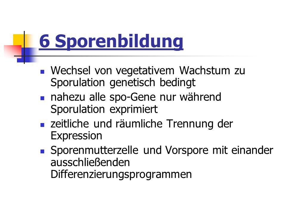 6 Sporenbildung Wechsel von vegetativem Wachstum zu Sporulation genetisch bedingt. nahezu alle spo-Gene nur während Sporulation exprimiert.