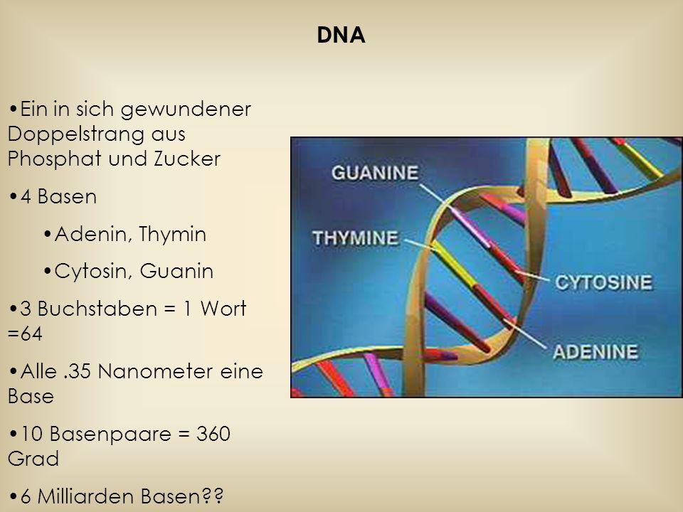DNA Ein in sich gewundener Doppelstrang aus Phosphat und Zucker