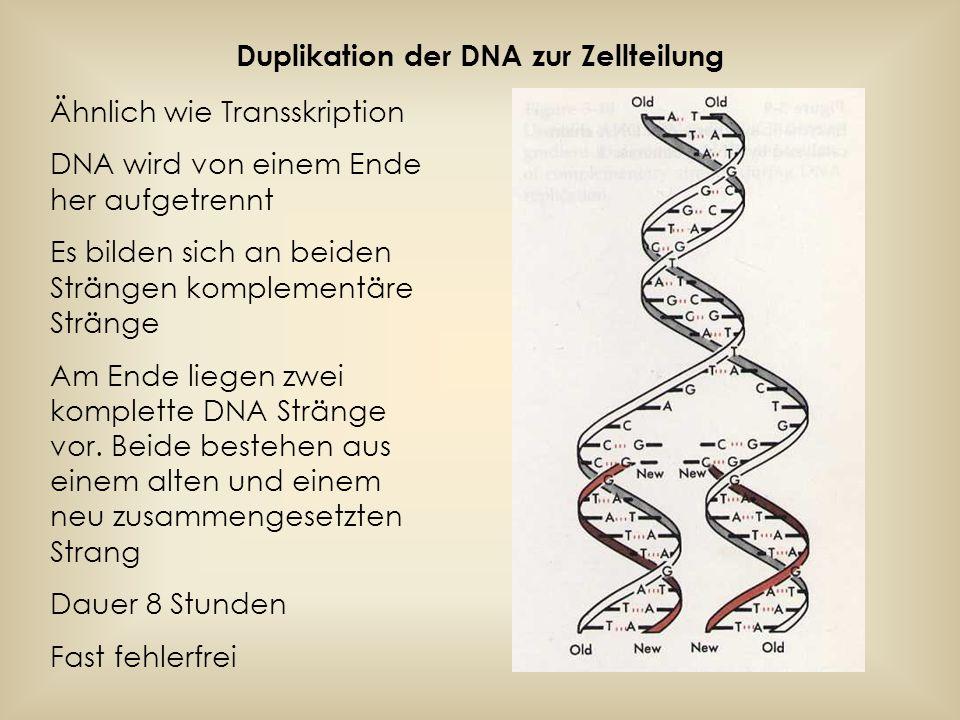 Duplikation der DNA zur Zellteilung