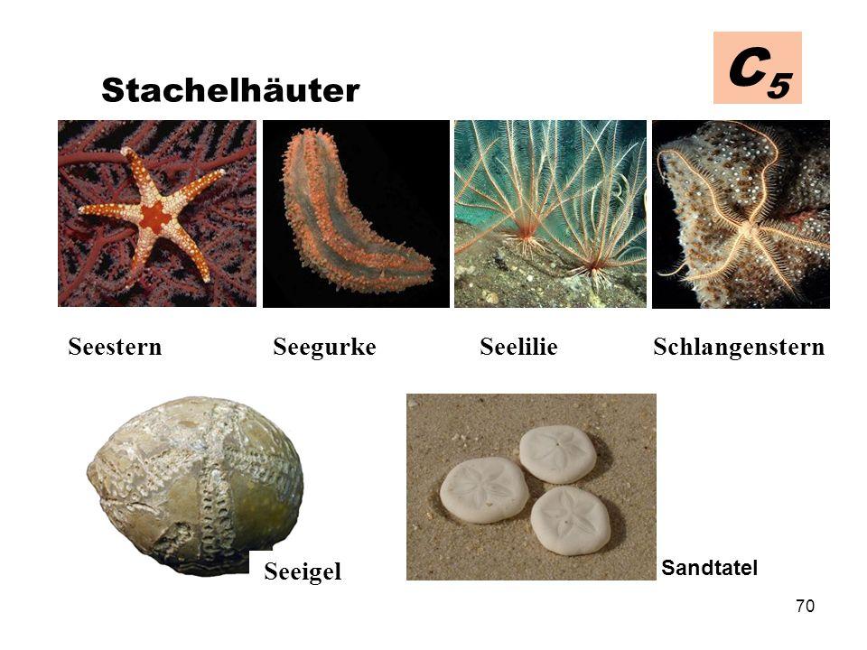 C5 Stachelhäuter Seeigel Sandtatel