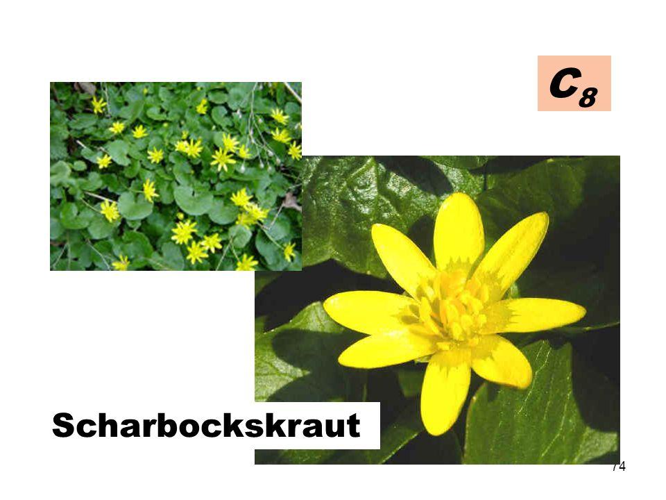 C8 Scharbockskraut