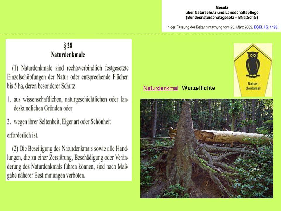 Naturdenkmal: Wurzelfichte