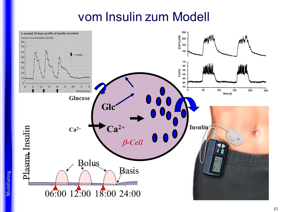 vom Insulin zum Modell Beta cells Glc Ca2+ 12:00 06:00 18:00 24:00