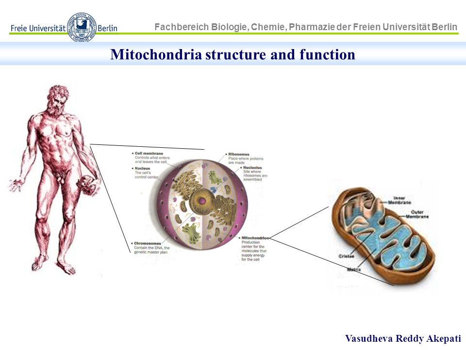 Mitochondria structure and function