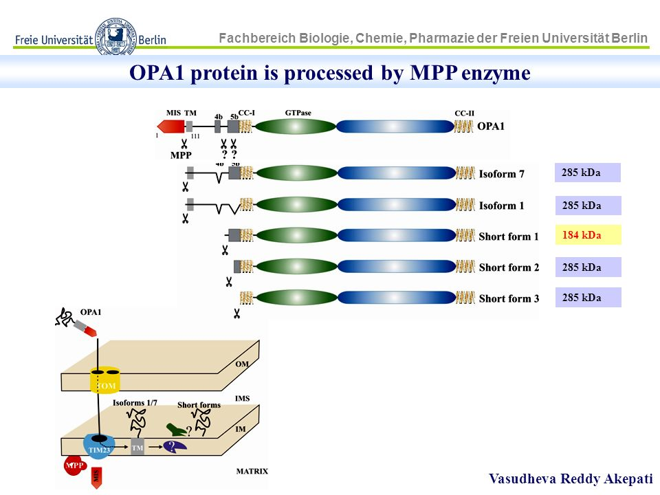 OPA1 protein is processed by MPP enzyme