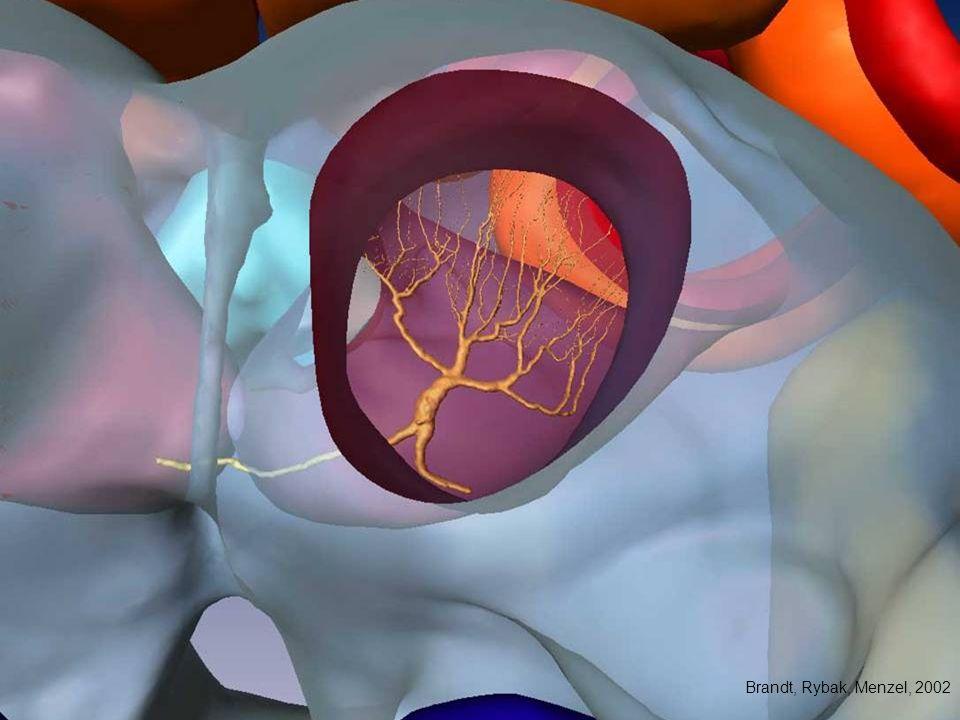 Morphologie des PE1 Neurons